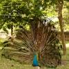 Peacock, Mombasa, Kenya